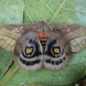 Saturniid moth