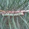 Pine Hawk-moth caterpillar