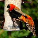 Southern Red Bishop