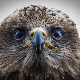 Red kite by Nicole Williams - Novices Only Wildlife ( bird prey kite portrait )