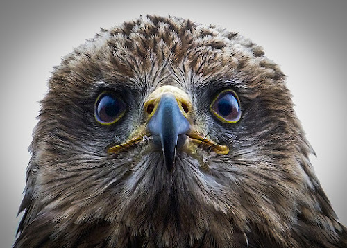 Red kite by Nicole Williams - Novices Only Wildlife ( bird prey kite portrait,  )