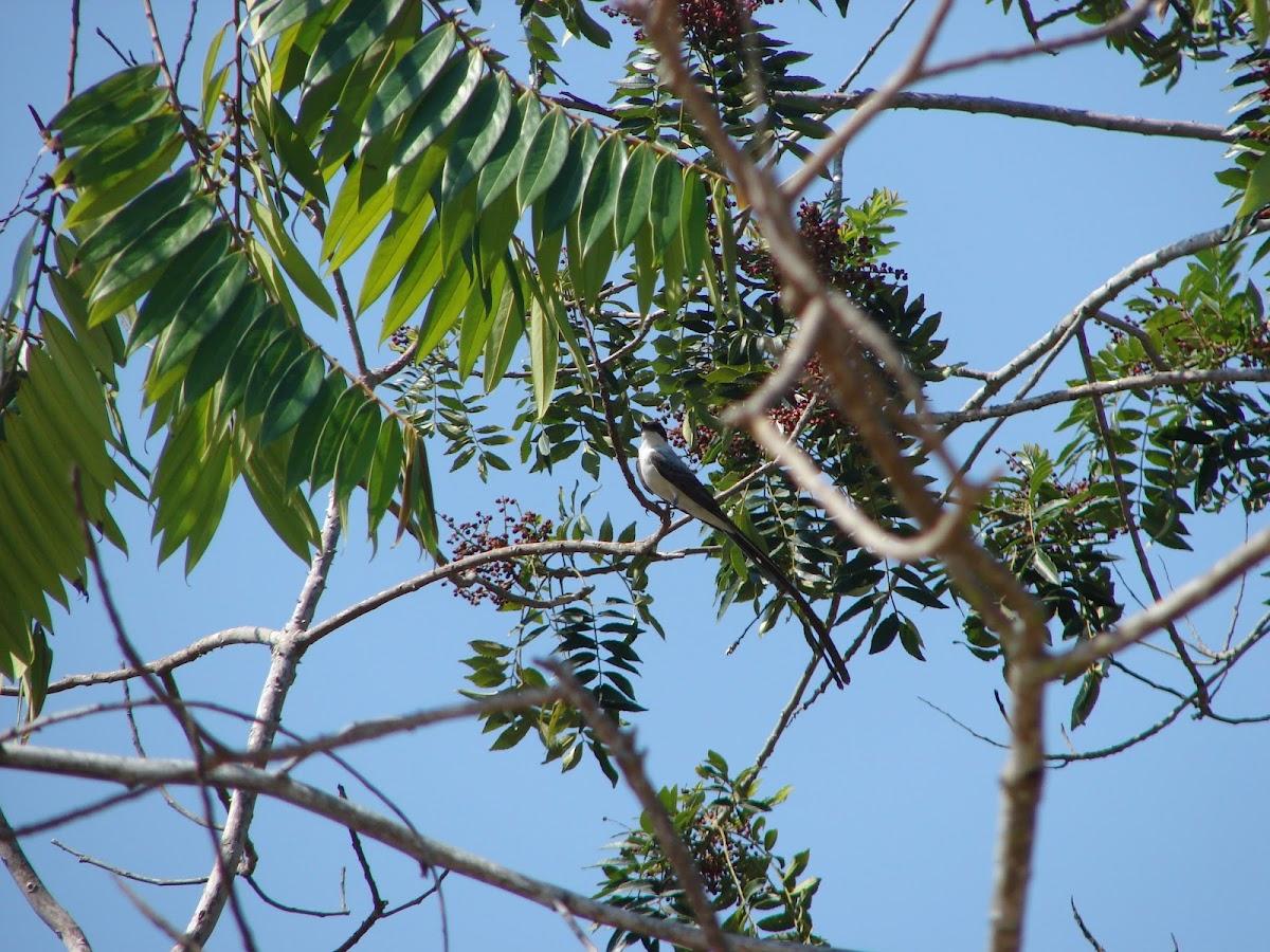 Fork-tailed Flycatcher (Tijereta sabanera)