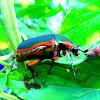 Metallic green fig beetle (Cotinis mutabilis)