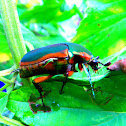 Metallic green fig beetle (Cotinis mutabilis)