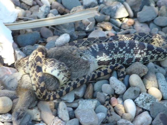 Bull Snake Eating Rattlesnake