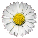 Period Daisy Widget icon