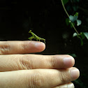 Mantis/ Praying Mantis