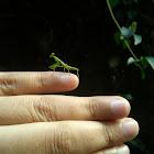 Mantis/ Praying Mantis