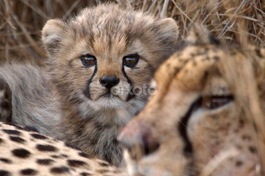 Curious by Gary Amendola - Animals Lions, Tigers & Big Cats ( baby cheetah zulu nyala,  )