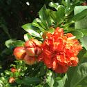 Flowering Pomegranate