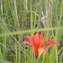 Orange-cup Lily