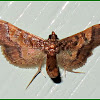 Ornate Hydriris Moth