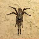 Tmarus spider