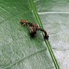 Elongate twig ant