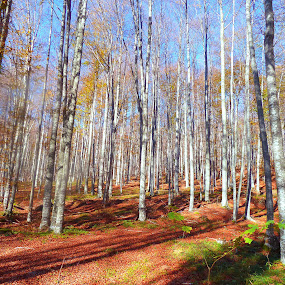 Beech forest by Mursida Musić - Landscapes Forests