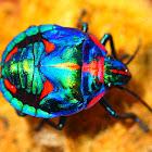 Cotton Harlequin Bug