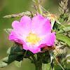 Smooth Wild Rose
