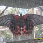 Red / Scarlet Mormon (female)