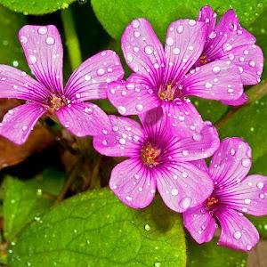 5 violet wood sorrel blms wet.jpg