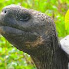 Galapagos tortoise - Santa Cruz sub-species
