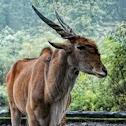 Commond Eland