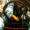 Twoline clingfish/Doubleline clingfish/Feather star clingfish