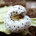 Figwort sawfly (larva)