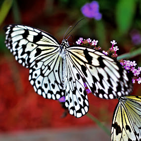 Butterfly by Richard Moyen - Animals Insects & Spiders ( butterfly, zoo, nectar, twins, flower )