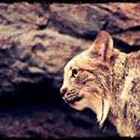 Lynx Boréale