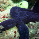 Estrella de mar púrpura