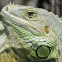 Green or Common Iguana