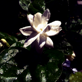 Jasmin by Arif Hossain - Flowers Single Flower ( jasmin, samsung galaxy s duos, arif hossain photography, flower, photography )