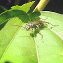 Spider hunter wasp