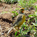 Orange-throated longclaw/ Cape longclaw