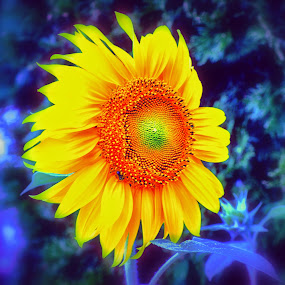 Sunflower in my front yard:):) by Donna Pavlik - Flowers Single Flower (  )