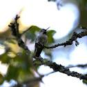Anna's Hummingbird - Juvenile