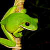 White Lipped Treefrog
