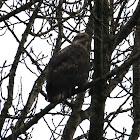 Bald Eagle - 3rd Year