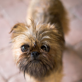 Weebit by Jessika Dabrowski - Animals - Dogs Portraits ( pups, dogs, scruffy, pup, dog portrait, blur, cute, puppy portrait, eyes, ewok, griffon, wicket, small dog, brussels, doggie, sharp, big eyes, brussels griffon, chewbacca, star wars, bug eyes, belge, doggy, whiskers, puppy, adorable, dog, small, cute dog, tan )
