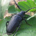 Broad Necked Root Borer Beetle