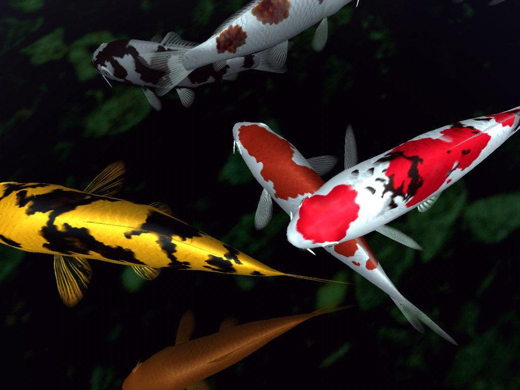fancy koi fish live wallpaper android apps on google play