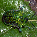 metallic green turtle bettle