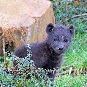 baby by Martyn Bennett - Animals Other Mammals ( spotted, grass, weeds, baby, young, hyena, animal,  )