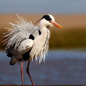 Attitude by Adéle van Schalkwyk - Animals Birds ( ruffled, wild, free, nature, heron  blue, jetty, wet, heron,  )