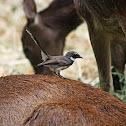 Fan-tailed Dove