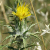 Woolly Distaff Thistle