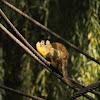 Saimiri da bolívia or macaco esquilo da Bolívia