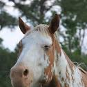 Horse (Appaloosa Mix)