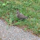 Mourning Dove (juvenile)