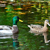 Mallard or wild duck - male and female